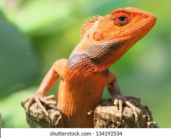 orange lizard sitting on tree in the natural habitat. close-up photos