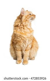 Orange Longhair Tabby Cat sitting up tall and turning head to side