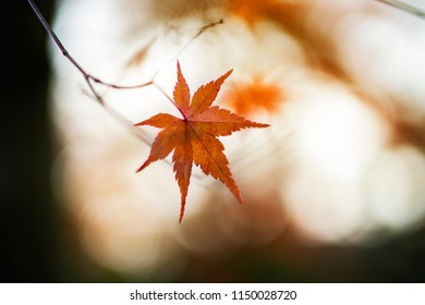 Orange maple leaf in autumn season with blurred soft bokeh background, in concept most romantic season. Shallow depth of field on subject.beautiful maple, calm, meditation,zen, photo shoot in Japan