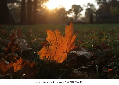 Orange maple leaf backlit by sunset lies on the grass in the park