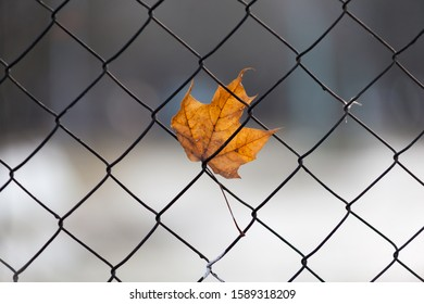 orange maple leaf stuck in the mesh of the fence on blurred background