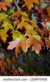 orange maple leaves in the fall with dark background