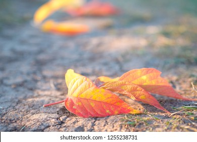 orange maple leaves on the Hiking path, the ground cracked and trampled