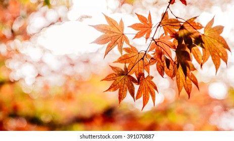 Orange maple leaves with selective focus and bokeh background