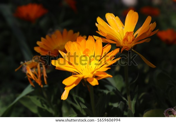 Orange marigold flower blossoming closeup
