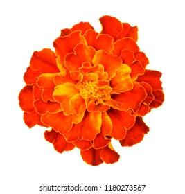 orange marigold flower isolate on white