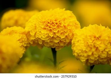 Orange marigold flower. Selective focus