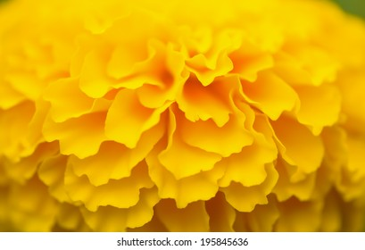 Orange marigold flower, soft focus