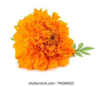 Orange Marigold flower, Tagetes erecta, Mexican marigold, Aztec marigold, African marigold isolated on white background