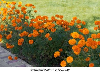 Orange marigold flowers bloom in the garden