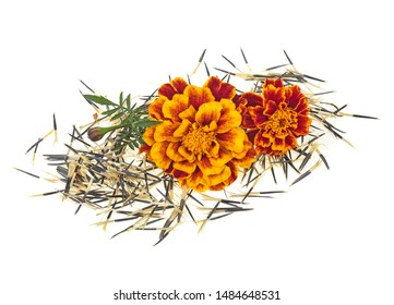 Orange marigold flowers with seeds isolated on white background. Mexican marigold. Full depth of field.