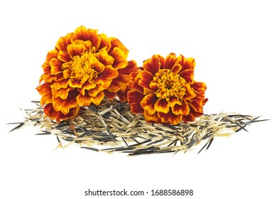 Orange marigold flowers with seeds isolated on a white background. Mexican marigold.