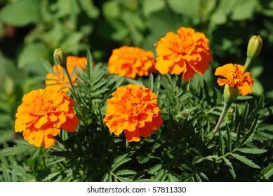 Orange marigolds on a flowerbed