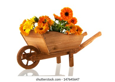 Orange marigolds in wooden wheel barrow isolated over white background
