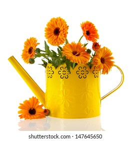 Orange marigolds in yellow watering can isolated over white background
