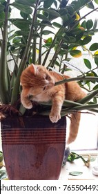 Orange menace, cute fuzzy orange kitten, tiger striped, laying in sunny window in tropical pot plant, cat head, whiskers, paws and tail in full view