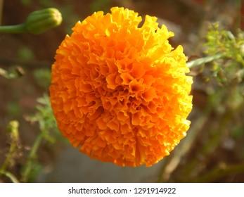 orange merygold blooming