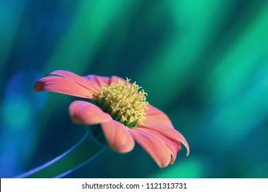 orange Mexican sunflower