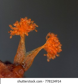 Orange microscoric colonies of myxobateria look like strange flowers, mushrooms or coral polyps. Myxobacteria are unicellular bacteria that gather to from a much large organism. Neutral background.