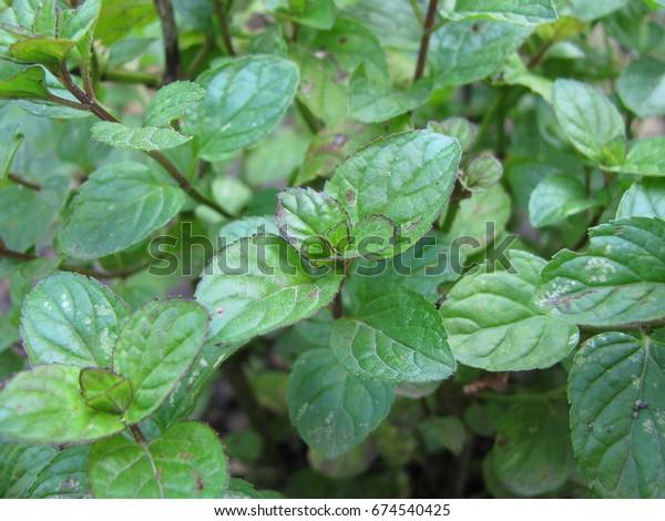 Orange mint, Mentha citrata, in herb garden