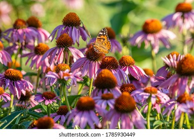 Orange monarch butterfly perched on purple coneflower blooms in garden in summer