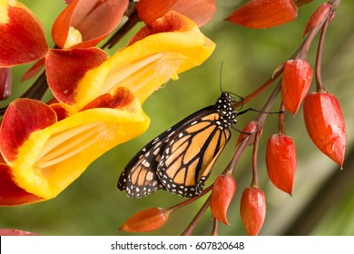 orange monarch butterfly sitting on beautiful blooming red and yellow orchid flower in botanical greenhouse garden