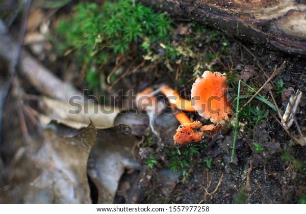 Orange mushroom on forest floor