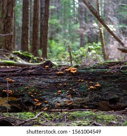 Orange mushrooms on a log