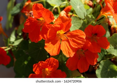 Orange Nasturtium - a gift of nature