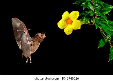Orange nectar bat (Lonchophylla robusta), feeding on nectar by long tongue from tropical flower. Wildlife photography in Costa Rica