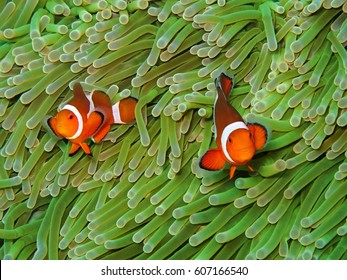 Orange nemo clown fish in the beautiful vivid green anemone. Pair of nemo clown fish living on the tropical reef. Bright orange fish, vivid green background.