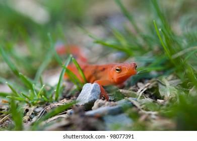 Orange Newt in the Grass