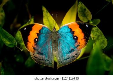 Orange Oak Leaf butterfly