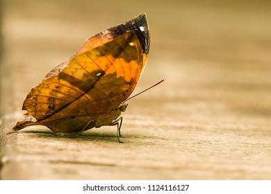 Orange Oak Leafe butterfly macro shot