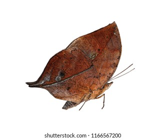 The orange oakleaf, Indian oakleaf or dead leaf butterfly, Kallima inachus, is isolated on white background with wings closed. The butterfly with closed wings strikingly resembles a dry leaf.