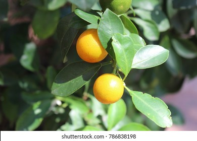 Orange on nature background