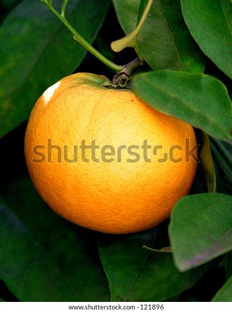 Orange on a tree.