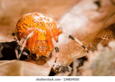 Orange Orb-Weaver Spider