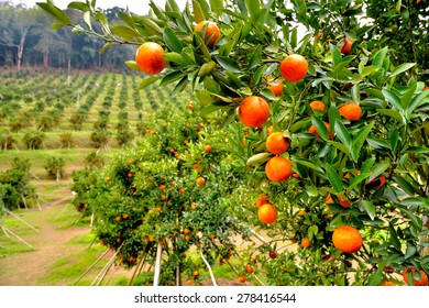 Orange orchard in doi angkhang ,Chiangmai, Northern Thailand