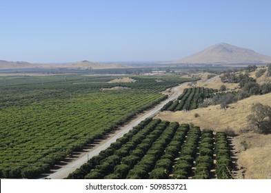 Orange orchard fields in Fresno