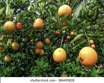orange orchard with leaves and fruits infected with plague