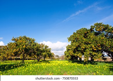 Orange orchard in spring in Portugal