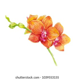 Orange orchid flowers on white background watercolor illustration