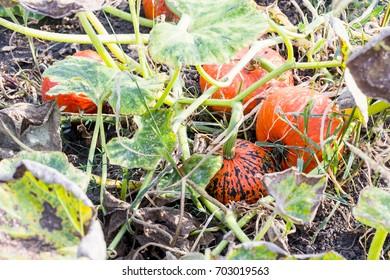 Orange organic pumpkin on field, Selective focus