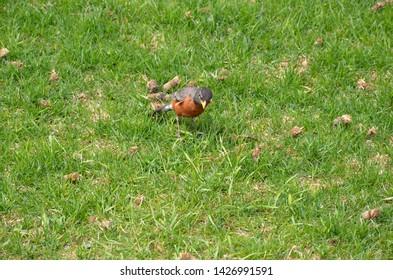 orange oriole bird in green grass or lawn
