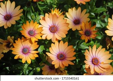 Orange osteospermum or dimorphotheca flowers in the flowerbed, orange flowers.