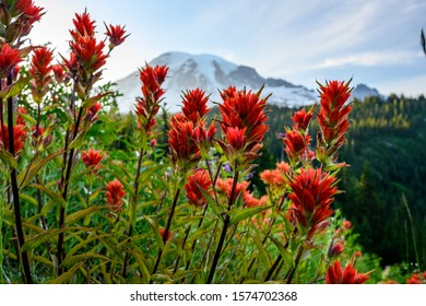 Orange Paintbrush Flowers with Mount Rainier in background during sunmer