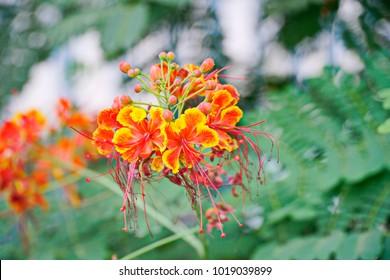 Orange Peacock Flower blooming