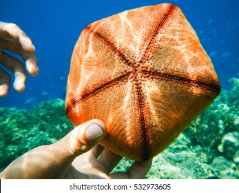 Orange pentagons starfish,  It has short arms and an inflated appearance and resembles a pentagonal pincushion.