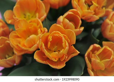 Orange peony-flowered Double Late tulips (Tulipa) Freeman bloom in a garden in April